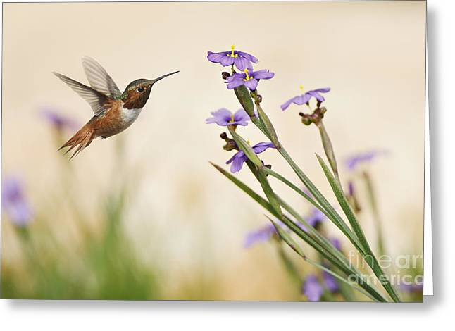 Blue-eyed Grass Wildflowers And Rufous Hummingbird Greeting Card