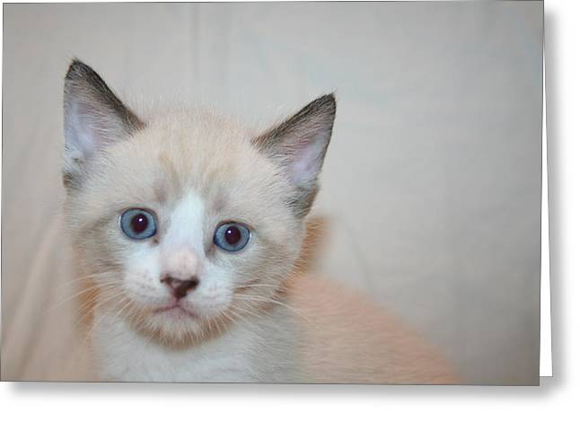Blue Eyed Kitten Greeting Card by Eduardo Bouzas