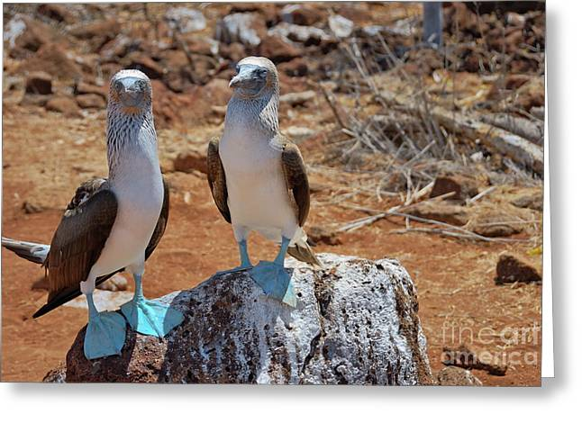 Blue-footed Boobies On Rock  Greeting Card by Sami Sarkis