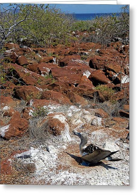 Blue-footed Booby And Rocks Greeting Card by Sami Sarkis