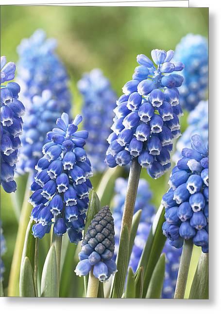 Blue Grape Hyacinth Muscari Aucheri Greeting Card