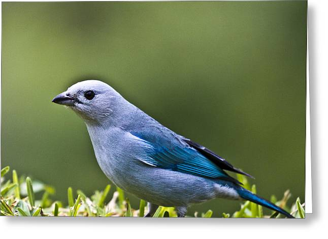 Blue-grey-tanager Greeting Card by Heiko Koehrer-Wagner
