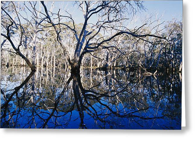 Blue Gum Trees And Reflections Greeting Card