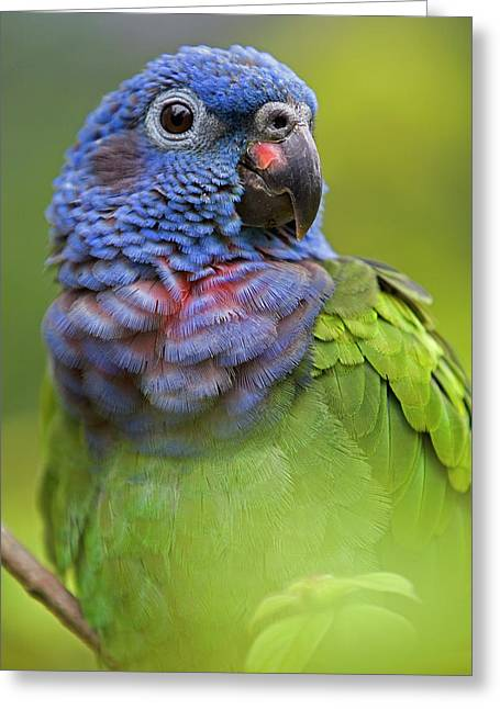 Blue-headed Parrot Pionus Menstruus Greeting Card by Ingo Arndt