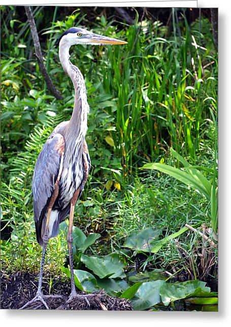 Greeting Card featuring the photograph Blue Heron At The Everglades by Pravine Chester