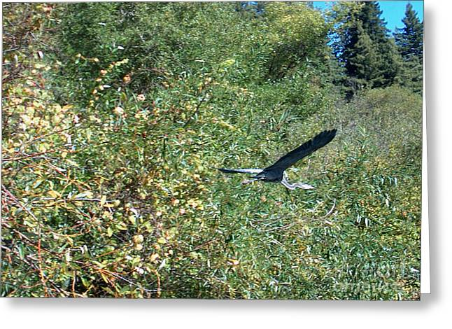 Blue Heron In Flight  Greeting Card by The Kepharts