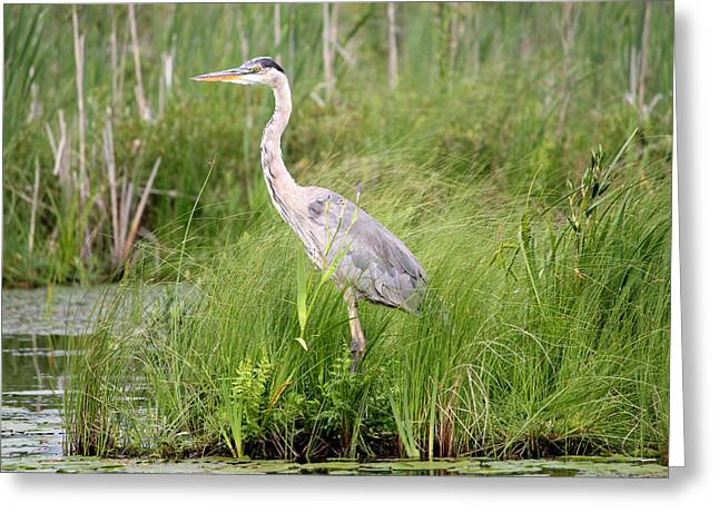 Blue Heron In Grasses Greeting Card