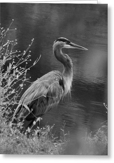Blue Heron Observing Pond - 51006955m  Greeting Card by Paul Lyndon Phillips