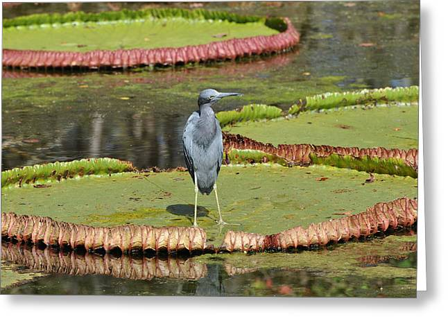 Greeting Card featuring the photograph Blue Heron On Giant Lilly Pad by Jodi Terracina