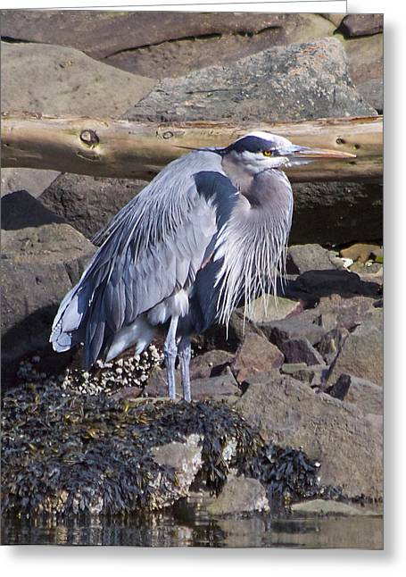 Blue Heron  Greeting Card by Tracey Levine