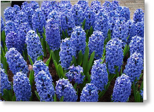 Blue Hyacinth Greeting Card by Larry Krussel