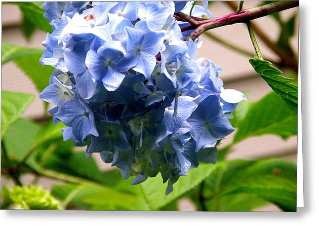 Blue Hydrangea 1 Greeting Card by Tanya  Searcy