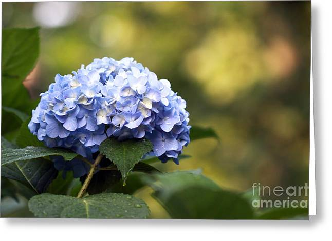Greeting Card featuring the photograph Blue Hydrangea by Denise Pohl
