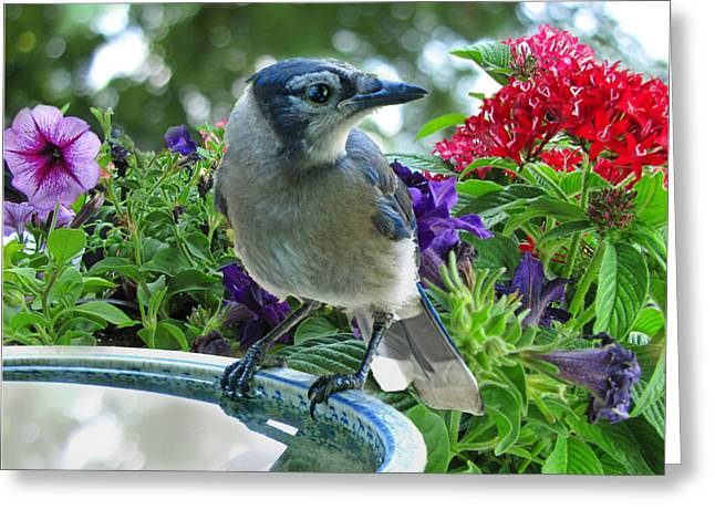 Greeting Card featuring the photograph Blue Jay At Water by Debbie Portwood