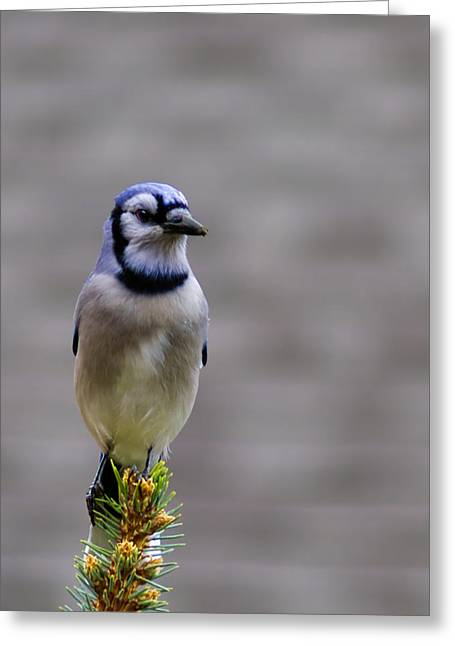 Blue Jay In The Pine Greeting Card by LeeAnn McLaneGoetz McLaneGoetzStudioLLCcom