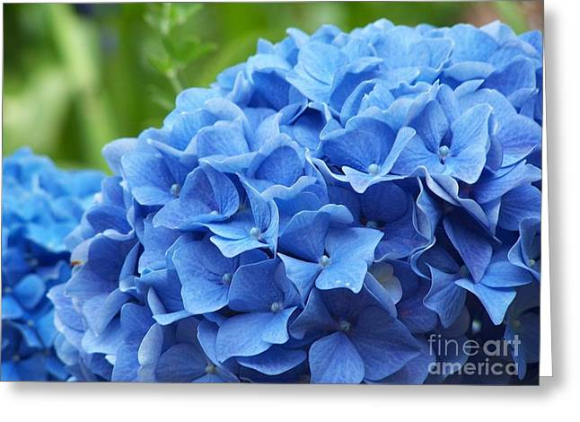 Blue Madeira Hydrangea Greeting Card by Patricia Land
