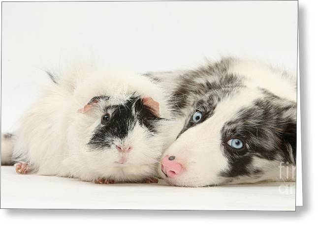 Blue Merle Border Collie With Guinea Pig Greeting Card by Mark Taylor