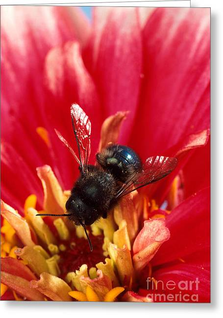 Blue Orchard Bee Greeting Card by Scott Bauer