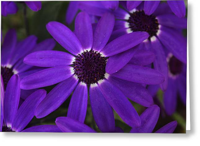 Greeting Card featuring the photograph Osteosperumum by David Grant