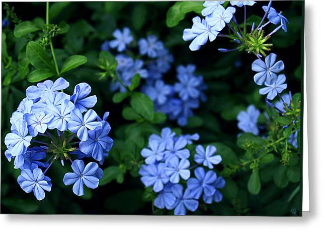 Blue Plumbago Greeting Card by Barbara Middleton