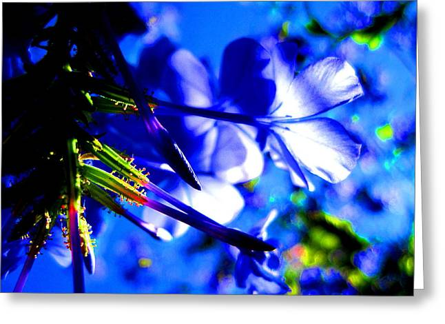 Blue Plumbago Flowers Greeting Card by Catherine Natalia  Roche