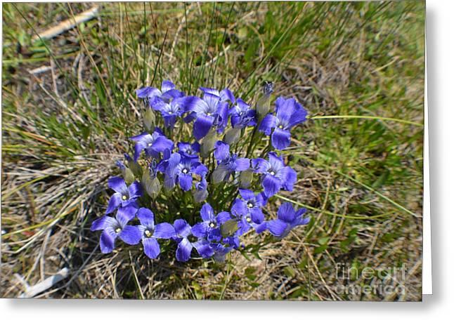 Blue-purple Damsels Greeting Card by Roxann Whited
