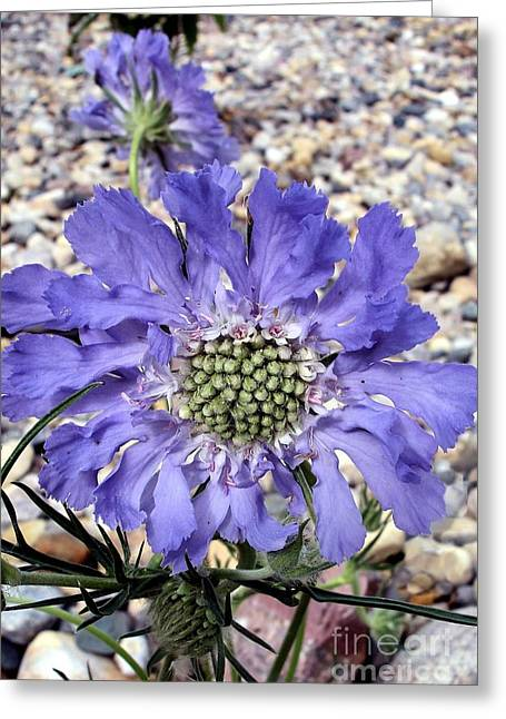 Blue Scabiosa Greeting Card