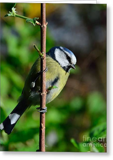 Blue Tit Greeting Card by Alan Clifford