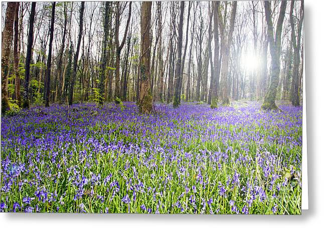 Bluebell Woods Kildare Ireland Greeting Card by Catherine MacBride