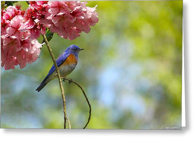 Bluebird In Cherry Tree Greeting Card