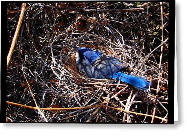 Greeting Card featuring the photograph Bluebird In Her Nest by Susanne Still