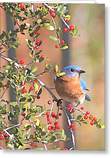 Bluebird In Yaupon Holly Tree Greeting Card