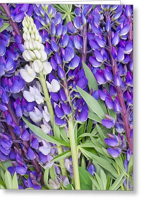 Bluebonnet Lupine Floral Background Greeting Card by Aleksandr Volkov