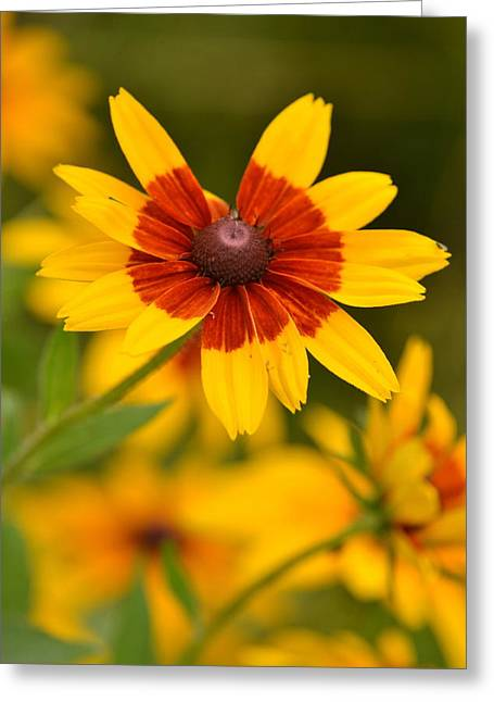 Greeting Card featuring the photograph Blush-eyed Susan by JD Grimes