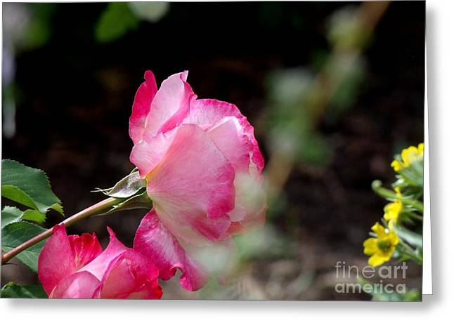 Blushing Pink Beauties Greeting Card by Donna Parlow
