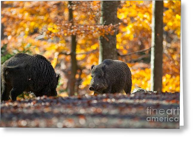 Boar Greeting Card by Davide Marzotto