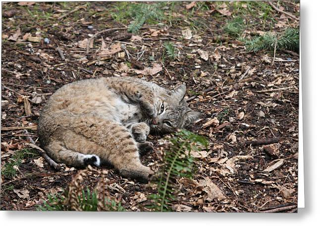 Greeting Card featuring the photograph Bobcat - 0016 by S and S Photo