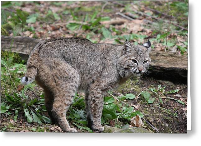 Greeting Card featuring the photograph Bobcat - 0019 by S and S Photo