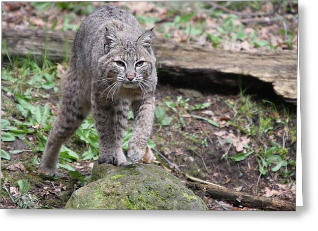 Greeting Card featuring the photograph Bobcat - 0020 by S and S Photo