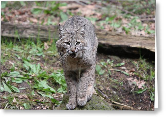 Greeting Card featuring the photograph Bobcat - 0021 by S and S Photo