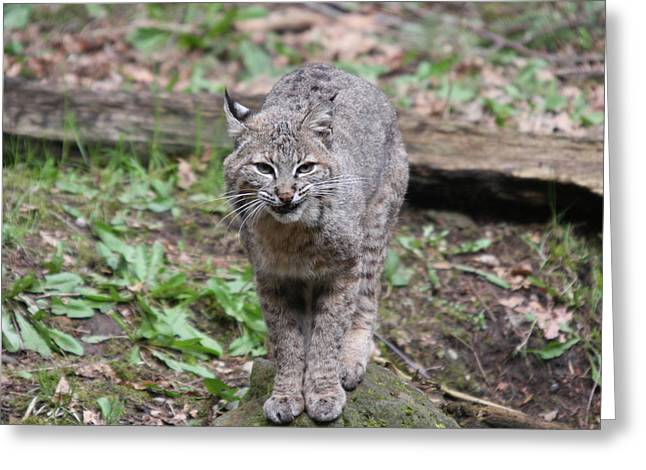 Greeting Card featuring the photograph Bobcat - 0022 by S and S Photo