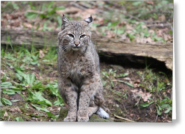 Greeting Card featuring the photograph Bobcat - 0024 by S and S Photo