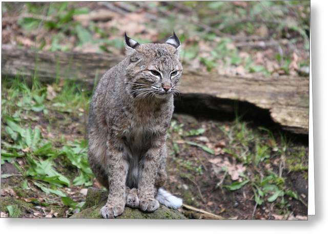 Greeting Card featuring the photograph Bobcat - 0025 by S and S Photo