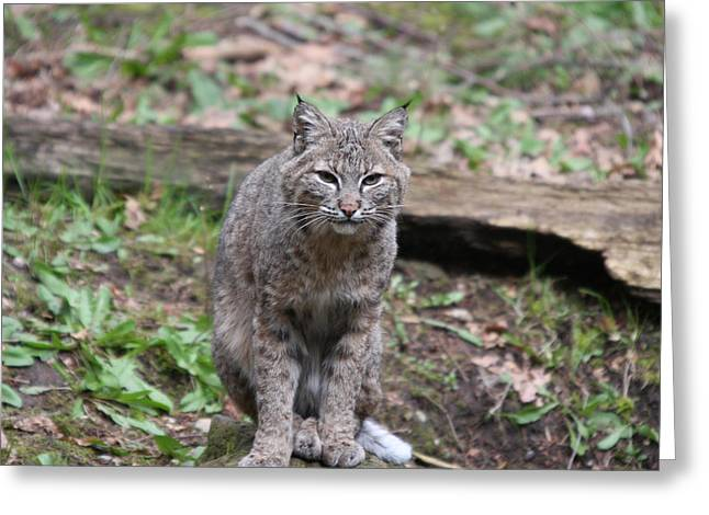 Greeting Card featuring the photograph Bobcat - 0026 by S and S Photo