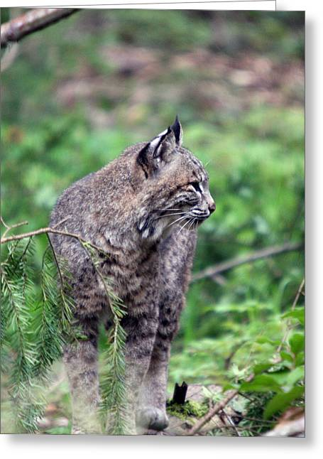 Greeting Card featuring the photograph Bobcat - 0027 by S and S Photo