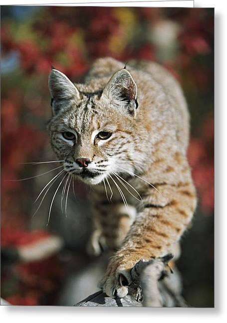 Bobcat Felis Rufus Greeting Card by David Ponton