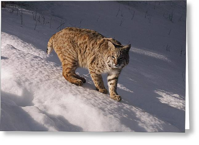 Bobcat Felis Rufus Prowls Over The Snow Greeting Card by Dr. Maurice G. Hornocker
