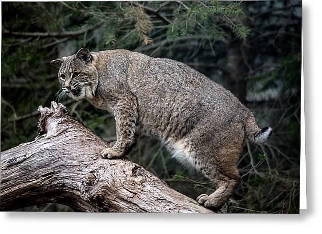 Bobcat Greeting Card by John Dryzga