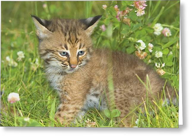 Bobcat Kitten Greeting Card by John Pitcher