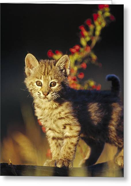 Bobcat Kitten Standing On Log North Greeting Card by Tim Fitzharris